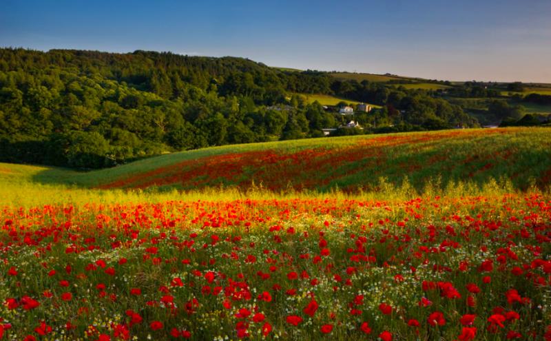 Poppy field in Cornwall, UK (OC) [1024x683]