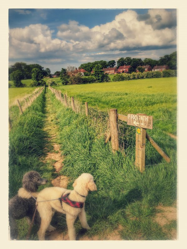 Footpath with poodles