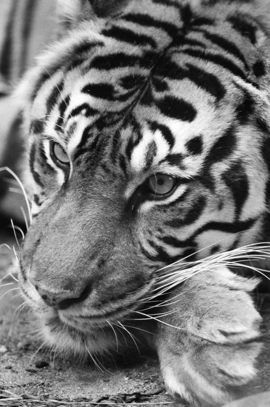 SF Tiger