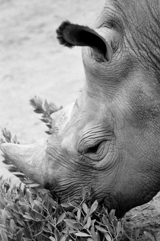 Rhino's dinner time