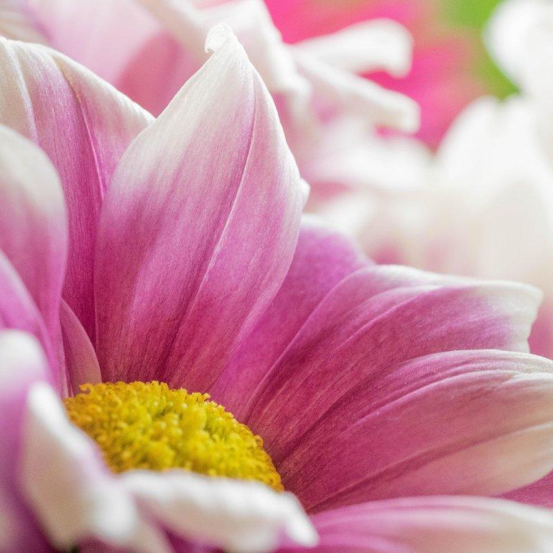 Prettius Pinkus Flowerica